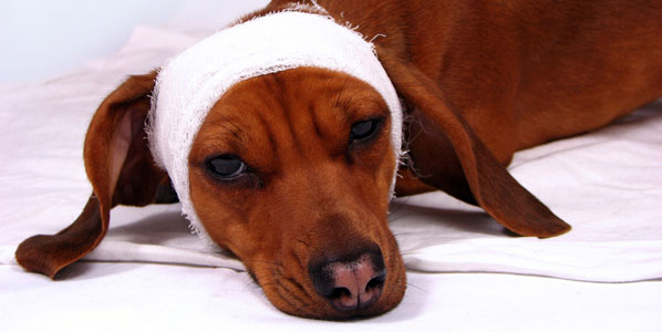 dog with head bandage to look sick
